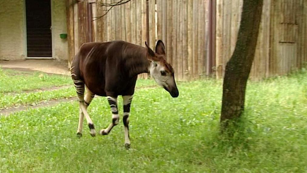 Okapi ve Dvoře Králové