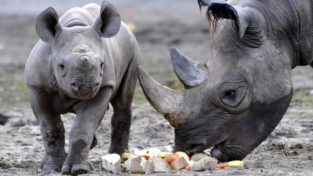 Nosorožec Manny