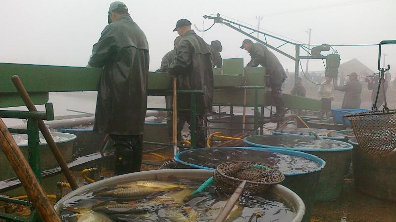 V kádích skončily před zimou stovky ryb
