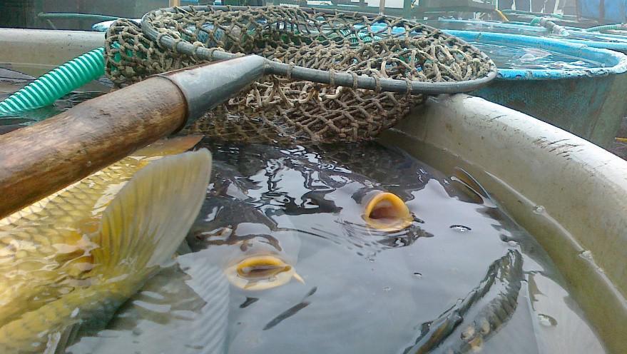 Některé vylovené ryby prodají rybáři až na vánočních trzích