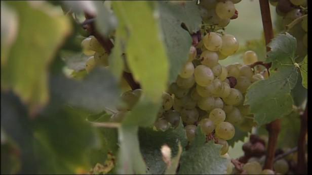 Zloději vína si vybírají cennější odrůdy