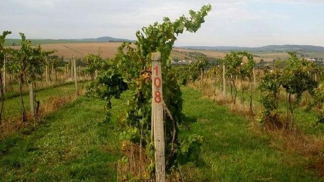 Zloději očesali z vinohradu v Tupesích 1 400 kilogramů hroznů