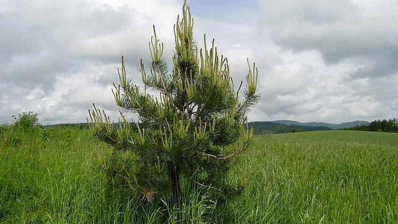 Munzarova borovice