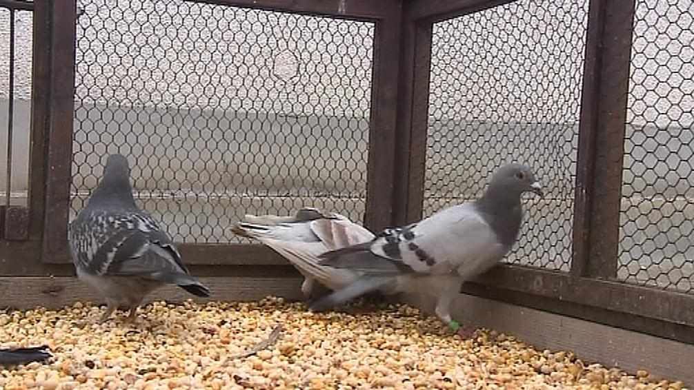 Odchyt holubů v Hodoníně pokračuje