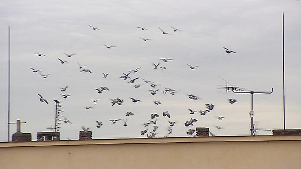 Obyvatele Hodonína dál trápí houfy holubů