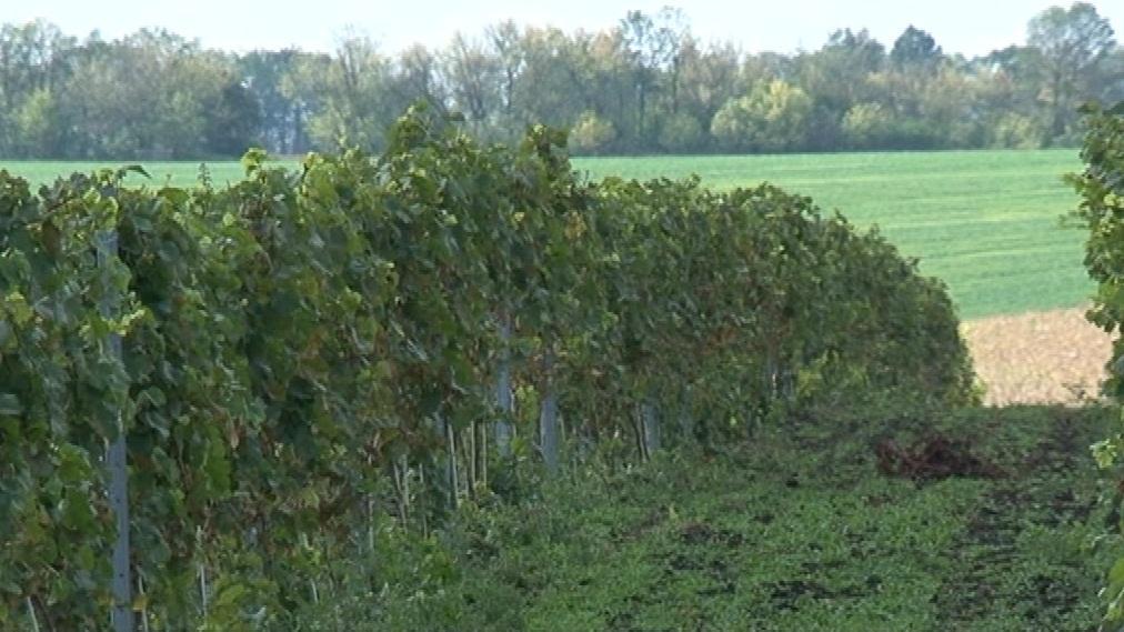 Obecní firma Vitisvin údajně dluží nájemné za vinohrad