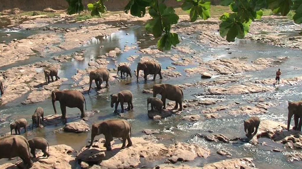 Srílanští sloni