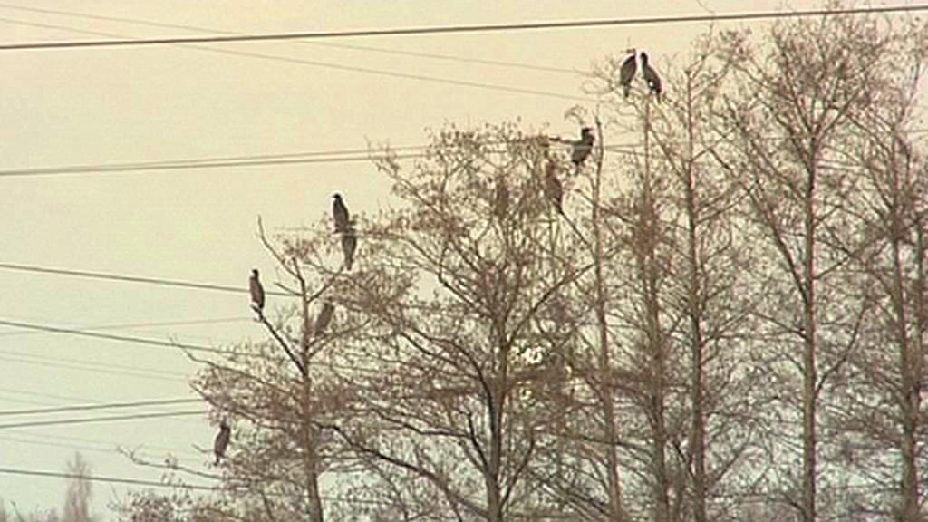 Kormoráni v korunách stromů