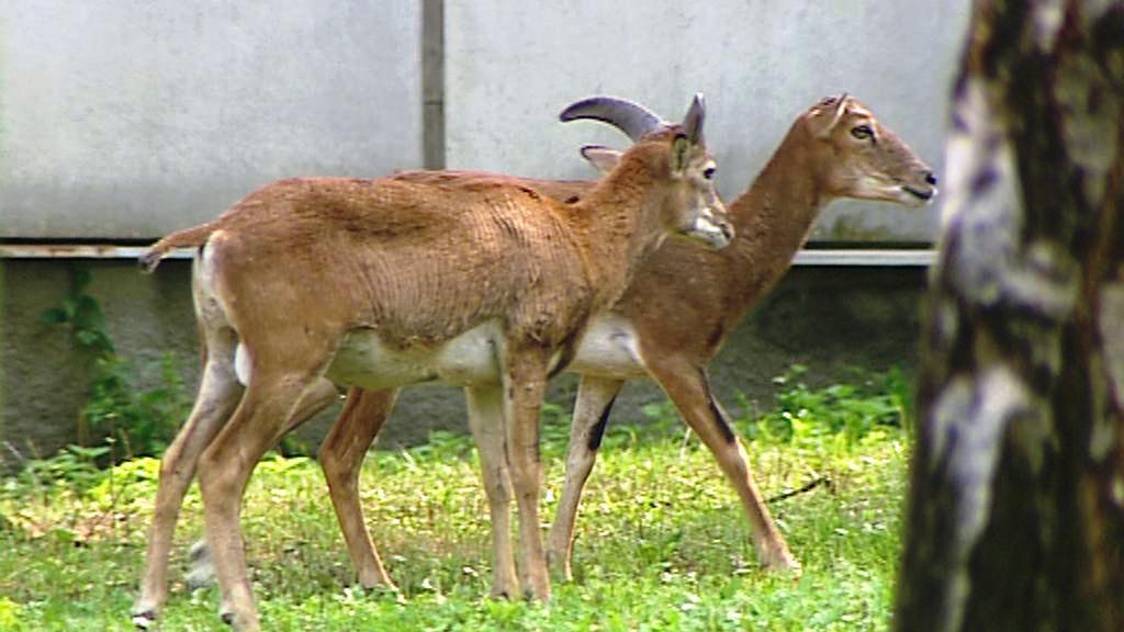 Pražští mufloni