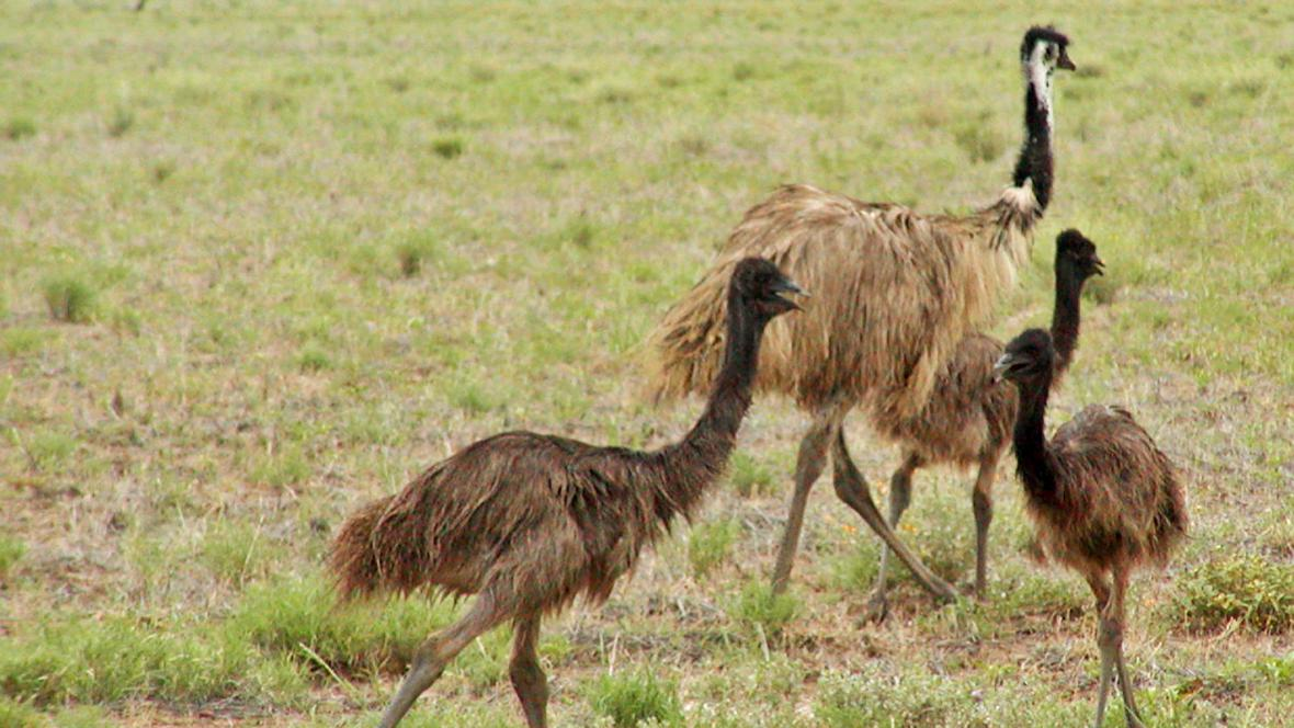 Pštros emu