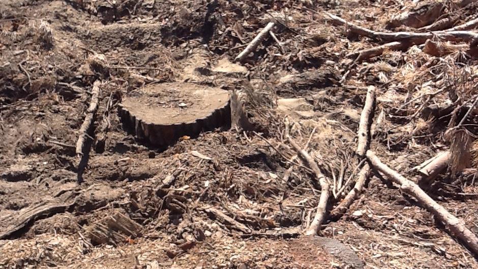 K zemi šly i vzrostlé borovice