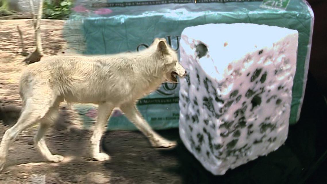 Vlci ohrožují produkci roquefortu