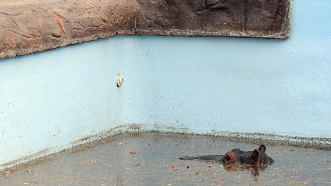 Hroch uvízlý v bazénu na farmě Monate