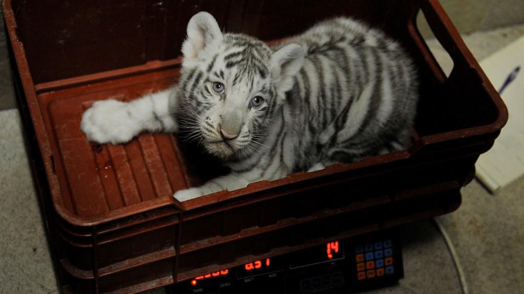 Kotě bílého tygra