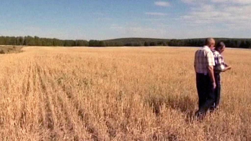 Ruská pšenice