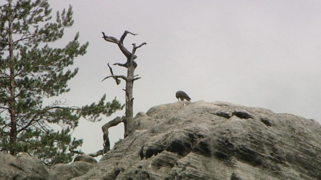 Sokol stěhovavý