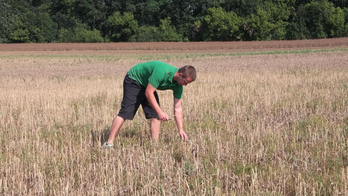Na některých polích obilí zemědělcům nesahá ani ke kolenům
