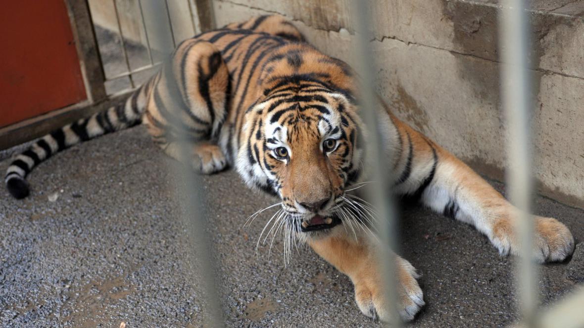 Samec tygra ussurijského Josef