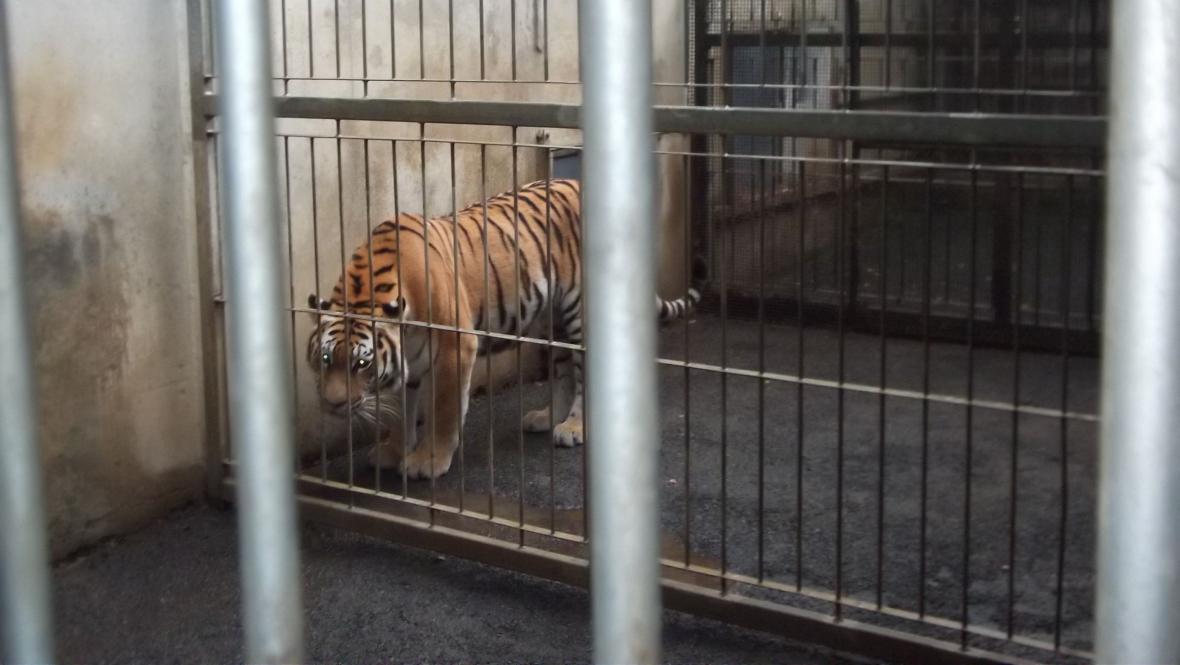 Tygr Josef v novém domově