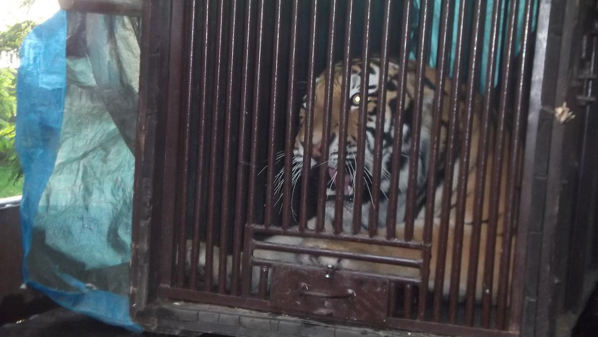 Příjezd tygra Josefa do zlínské zoo
