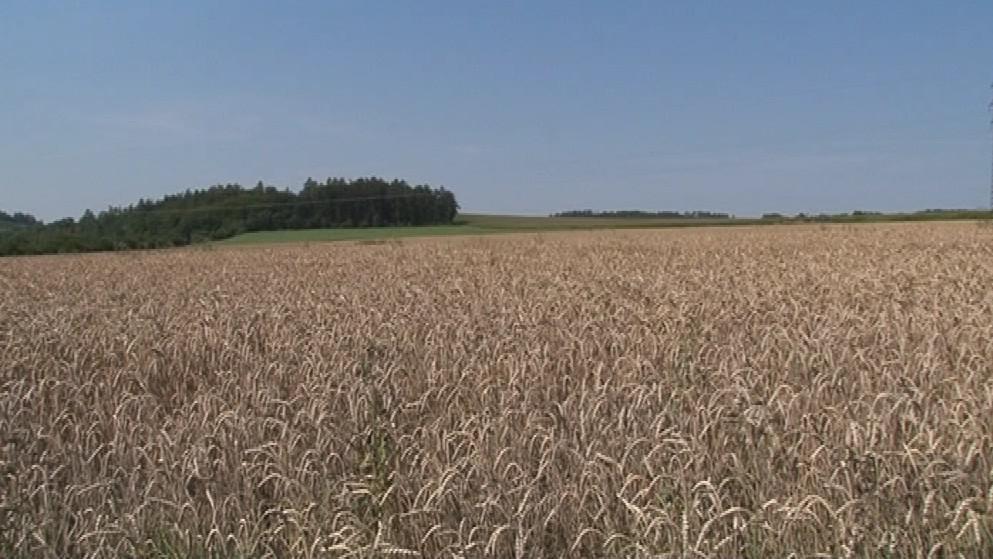 Cimrmanova raná patří do kategorie super elitních pšenic