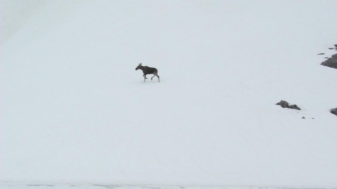 Los v národním parku Jotunheimen