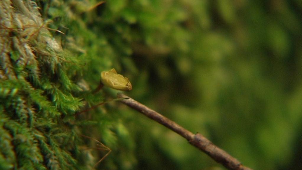 Šikoušek zelený