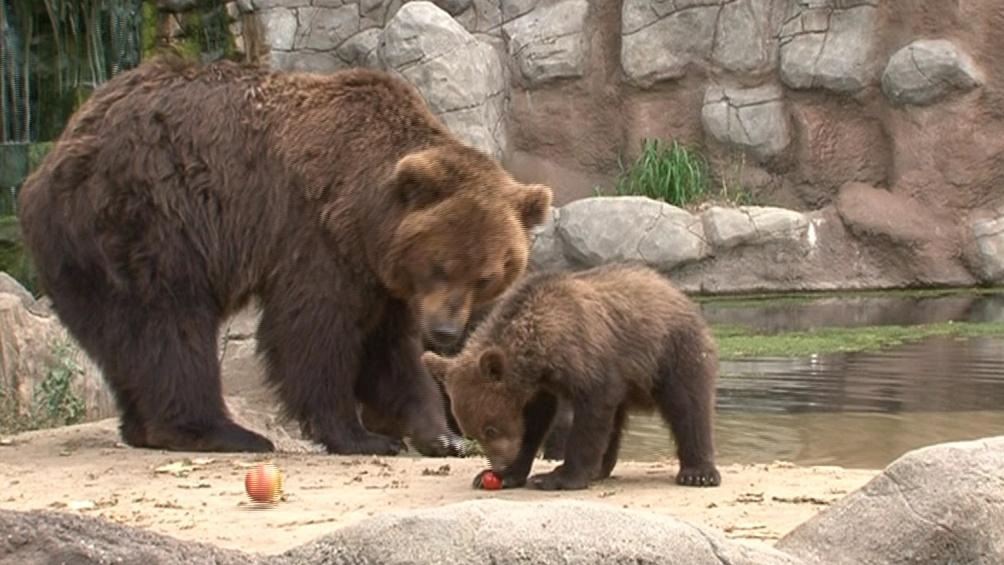 Medvědí máma Kamčatka se svým potomkem