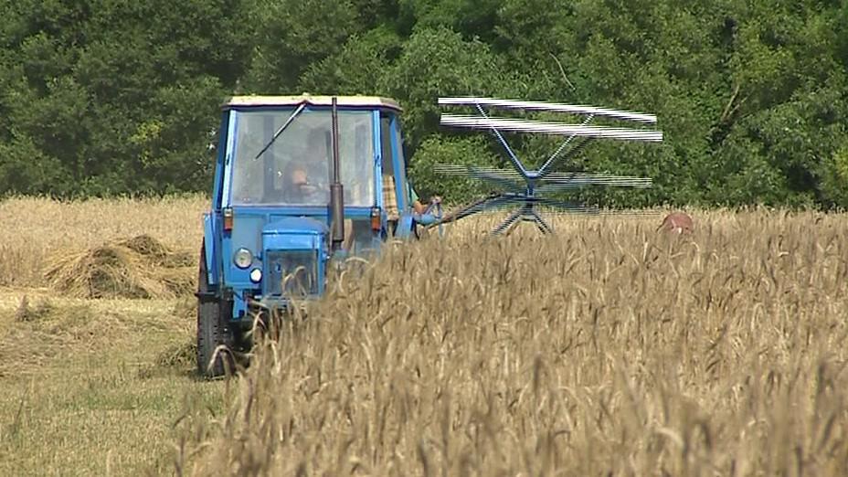 Sklizeň žita na výrobu došků