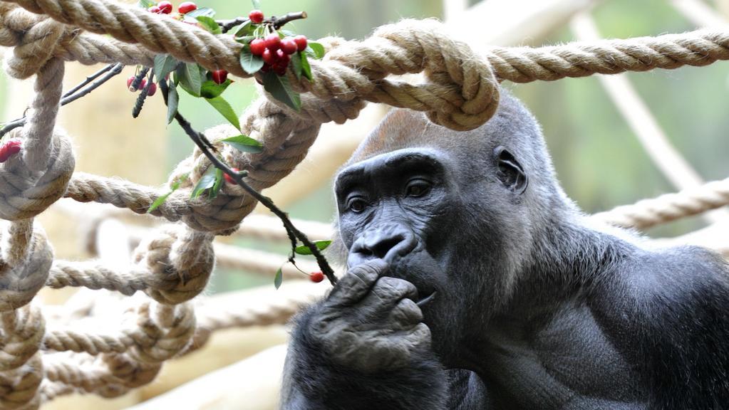 Gorilí samec Tadao v zoo ve Dvoře Králové