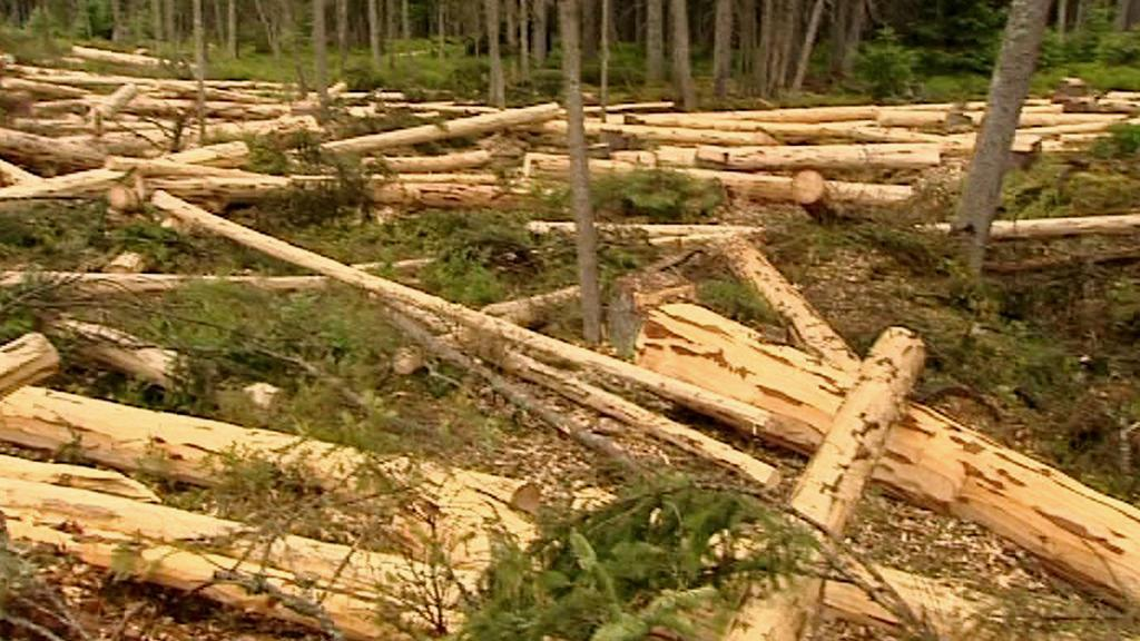 Pokácené stromy na Šumavě