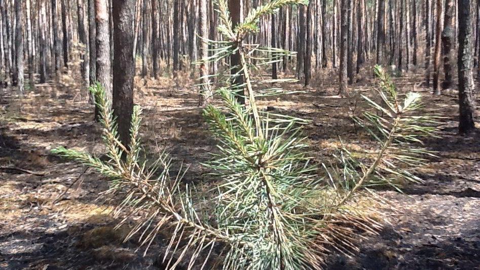 Mladé borovice už se zelenají