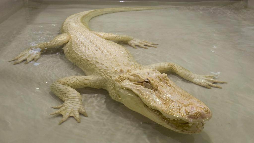Bílý aligátor