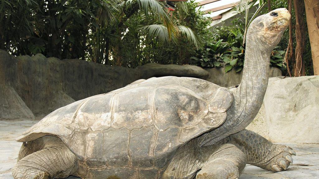 Želvák Antonio