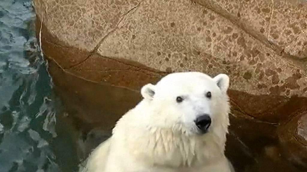 Medvěd ze zoo v Minnesotě