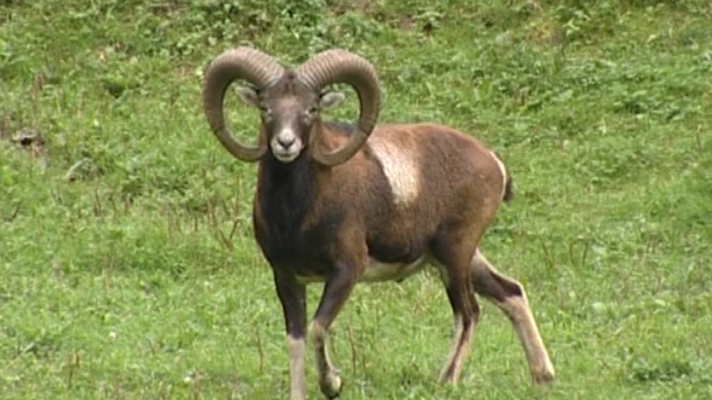 Muflon na Broumovsku