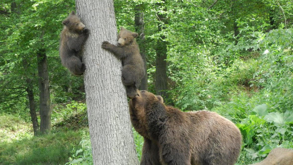Medvíďata mámě Kamčatce často utíkají na strom