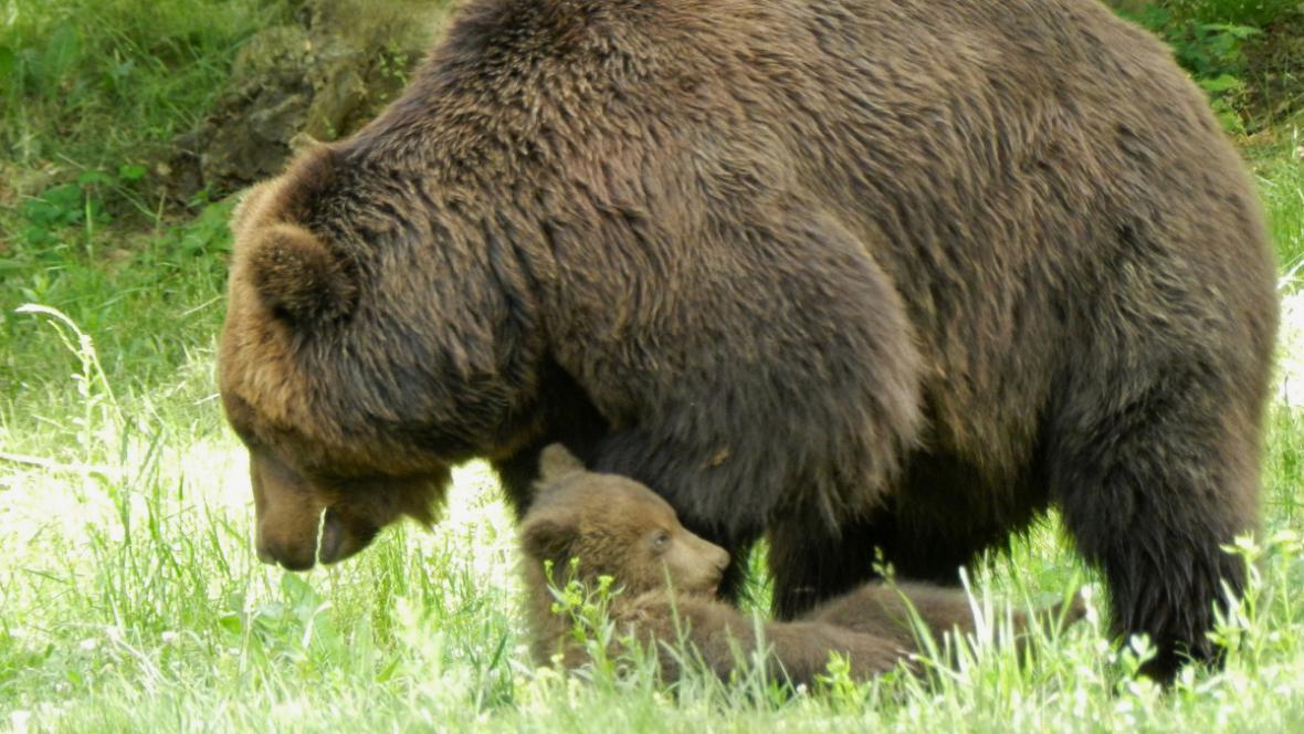Medvíďata jsou nesmírně hravá