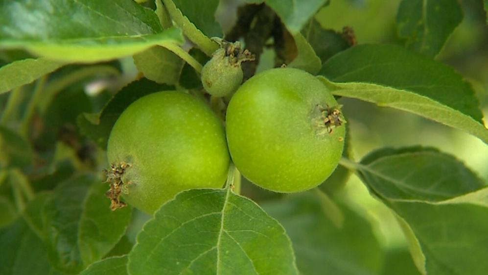 Ovoce v zahradě