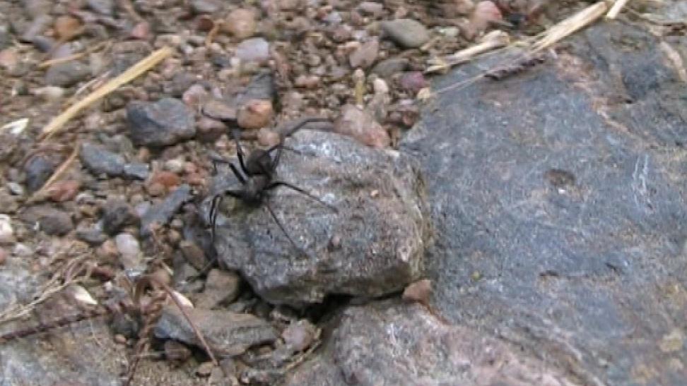 Pavouk mravčík skalní
