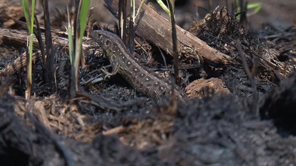 Necelý týden po požáru už se do lesa vrátily i ještěrky