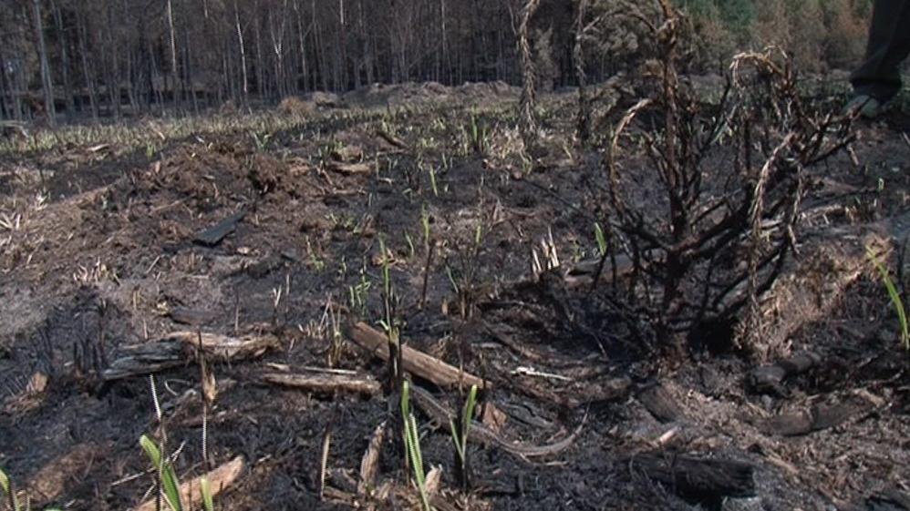 Les se začal krátce po dohašení požáru opět zelenat