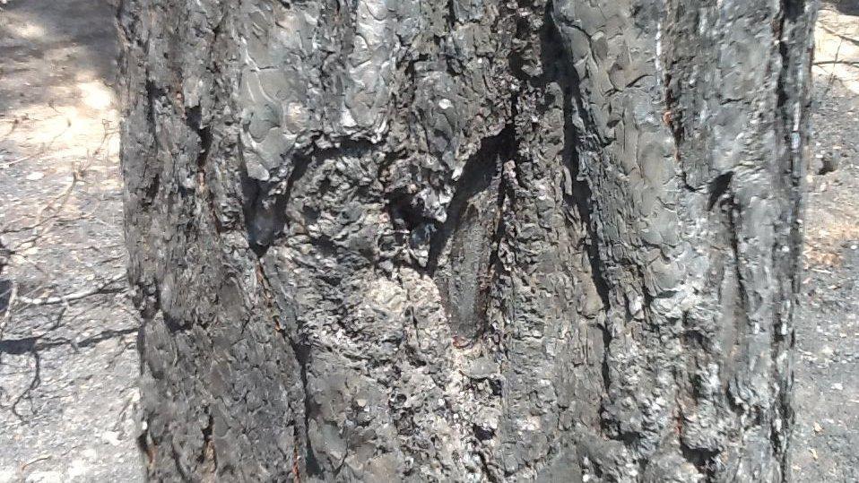 Kůra stromů je na některých stromech ohořelá do výšky několika metrů