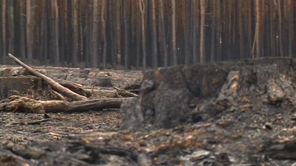 Ohořelé stromy začali lesníci kácet