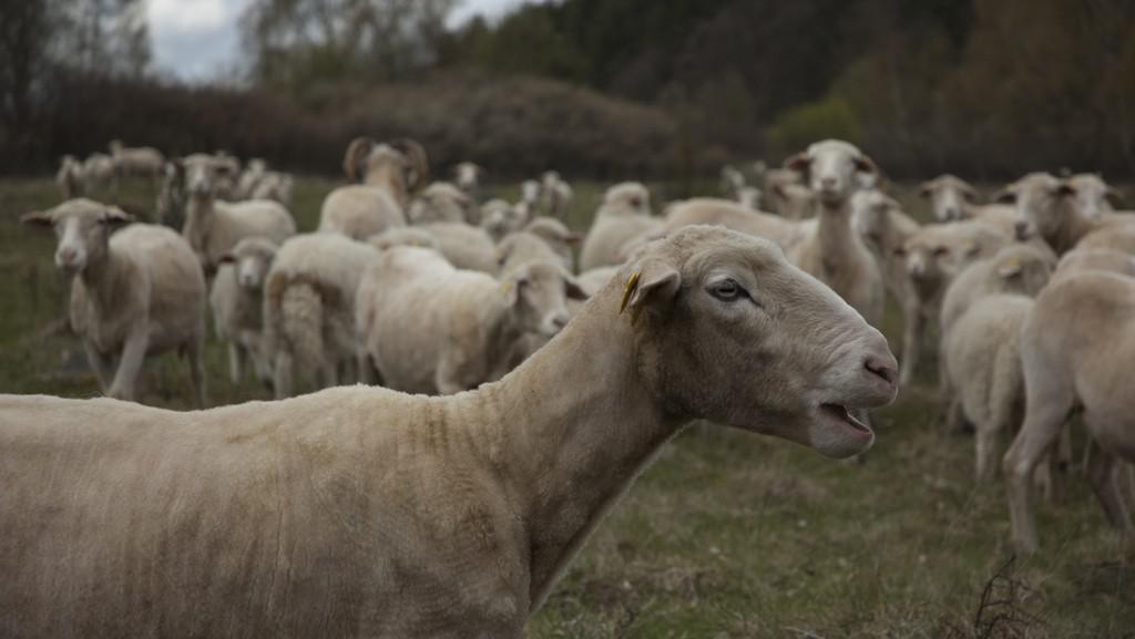 Těchonické ovce