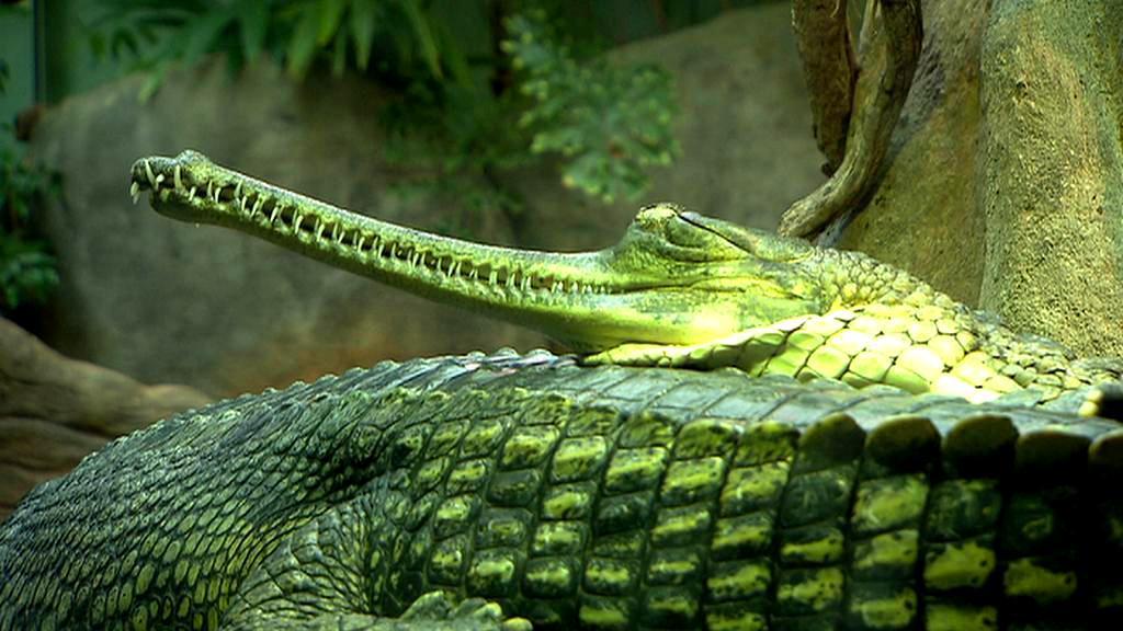 Gaviáli v pražské zoo