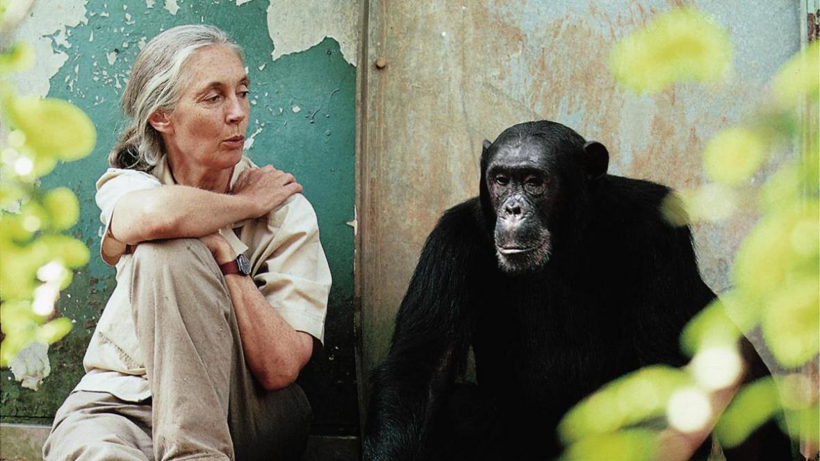 Jane Goodallová a šimpanz Freud
