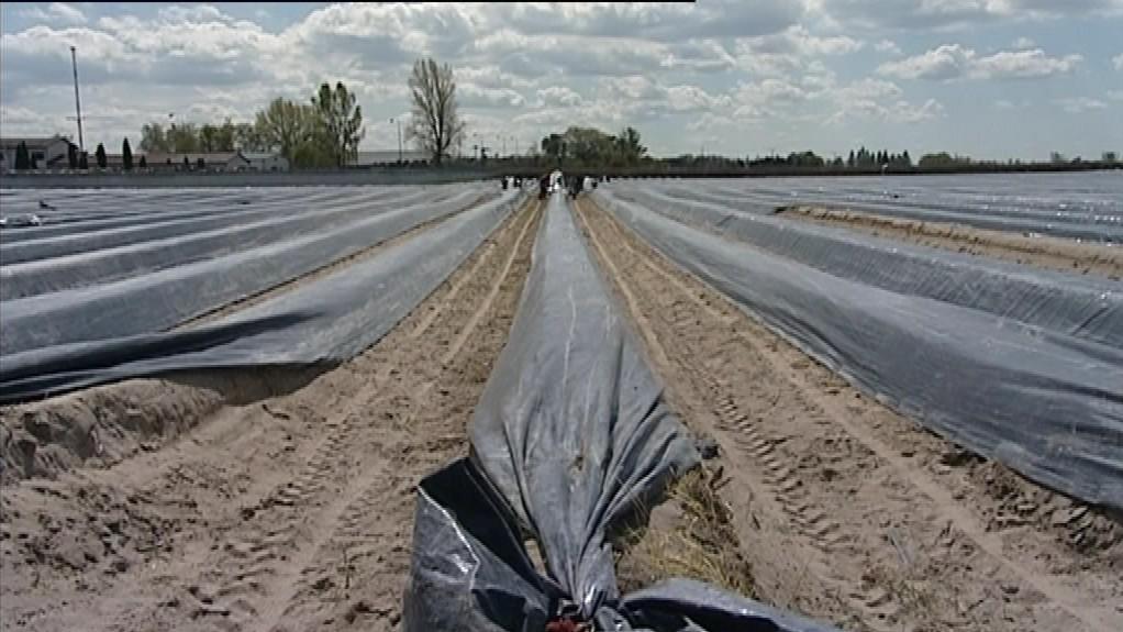 Pěstování chřestu na Slovensku