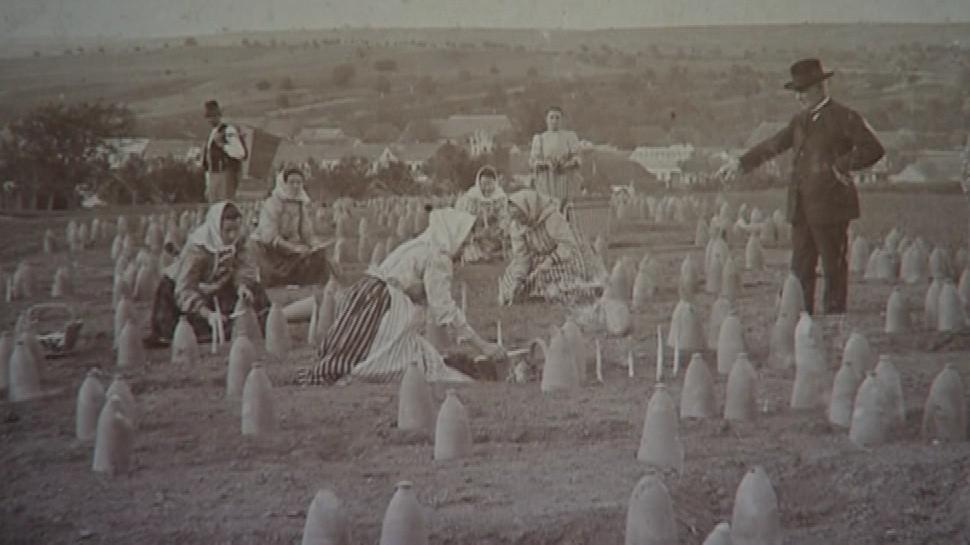 Historická fotografie pěstování chřestu na Ivančicku