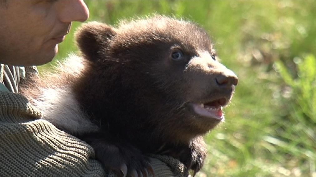 Jedno ze dvou mláďat medvědice Kamčatky